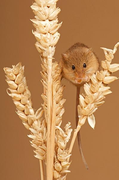Harvest Mice by robertjhook