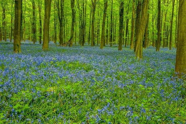 Bluebell Woods by JJGEE