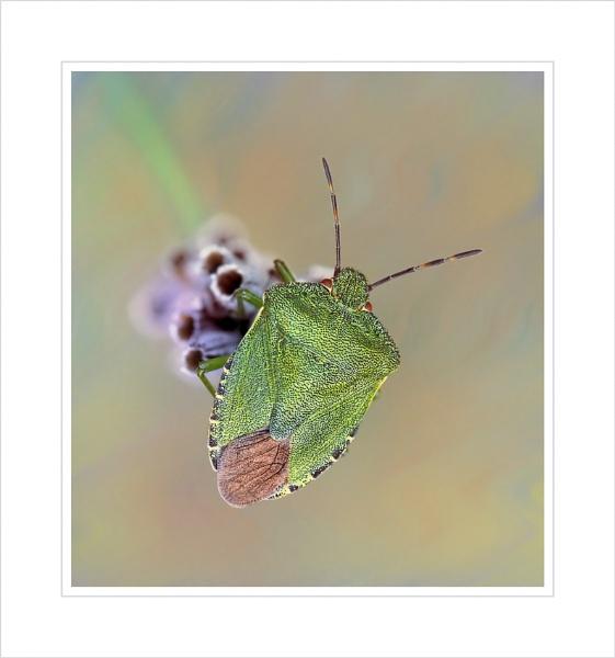Green Shield bug. by bricurtis