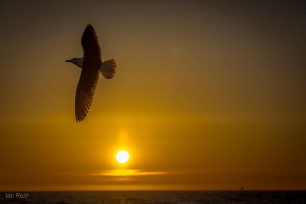 Black back gull by ireid7