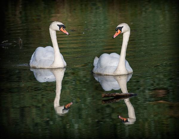 Swans by retec
