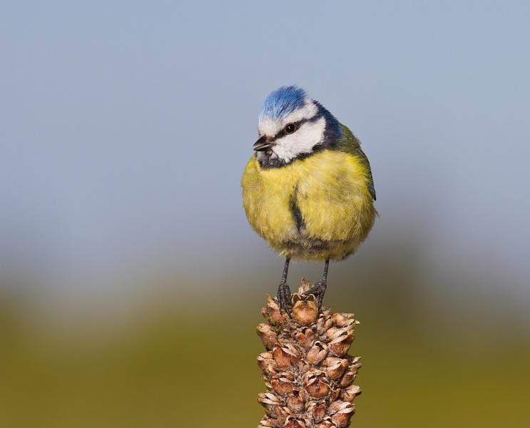 Blue Tit on a Seed Pod