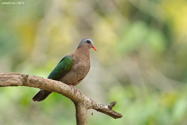Emerald Dove [Female] by subashcr