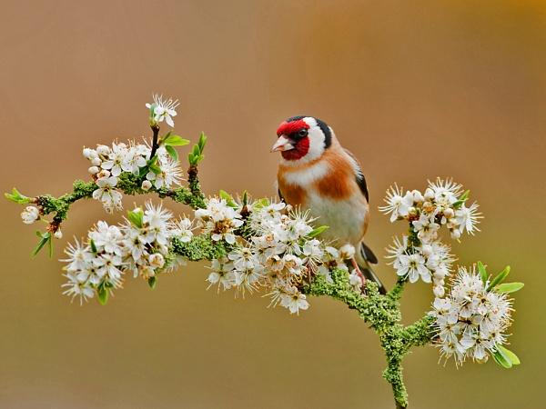 Goldfinch On That Perch by Trev_B