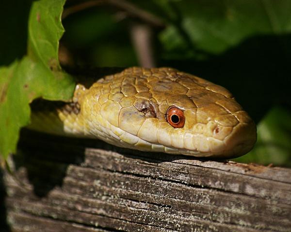 Rat Snake in florida by wsteffey