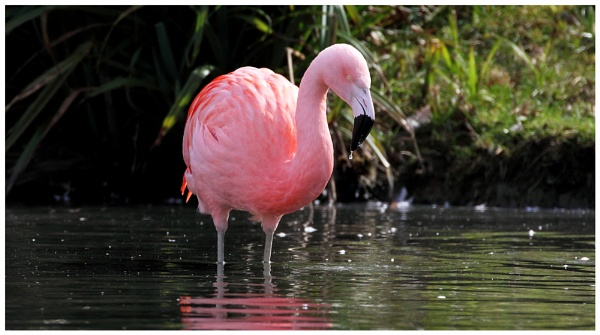 Chilean Flamingo by Mike_Smith