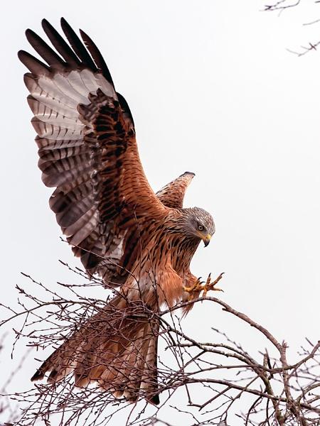 red kite by Tom-Melton