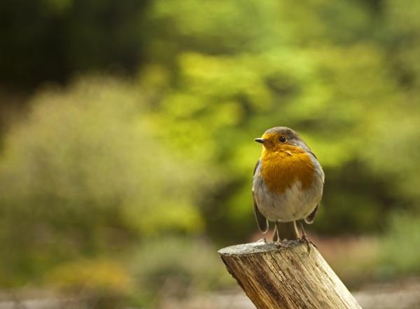 Robin by paulashby