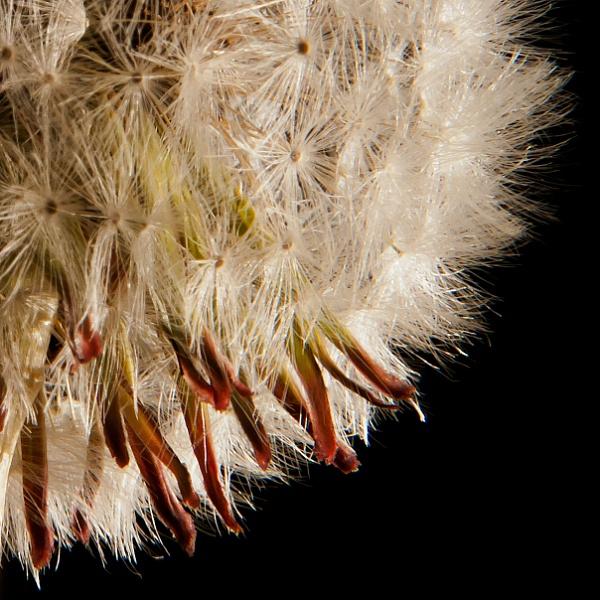 Dandelion Detail by Graeme_R