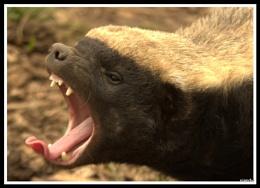 The Honey badger