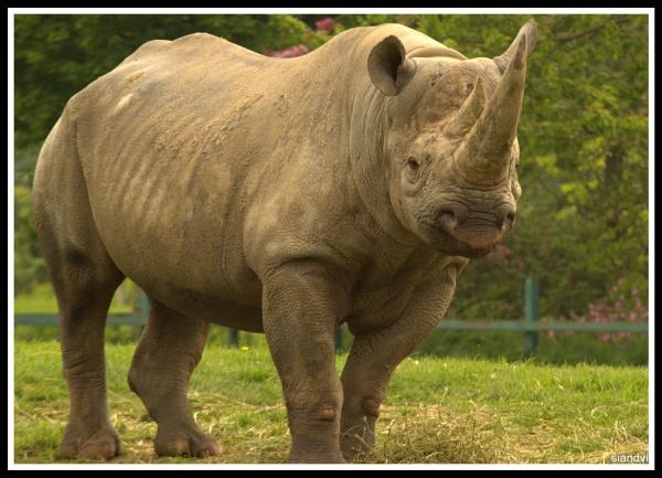 The black Rhino by tamasalucy