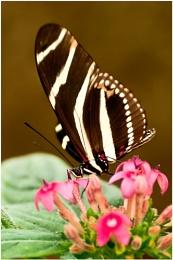Tiger Longwings