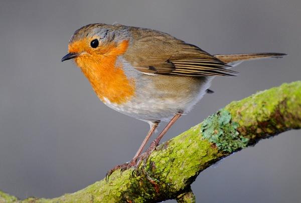 Robin on branch by bart_hoga