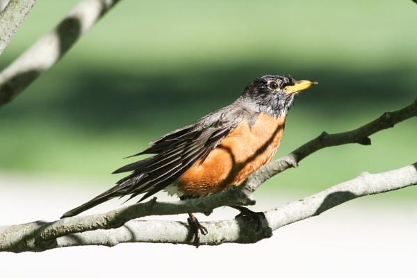 Red Robin not bobbin along by ShotfromaCanon