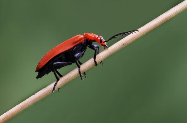 Cardinal Beetle Pyrochroa serraticornis by Metro6R4