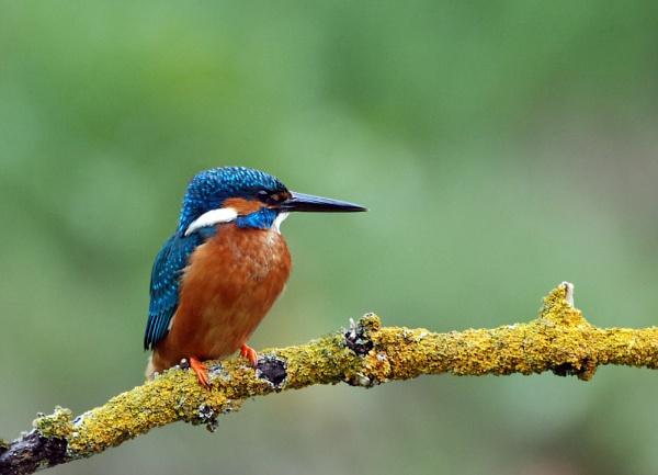 Kingfisher by heron