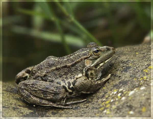Bog ! standard Frog in sunny France by annettep38