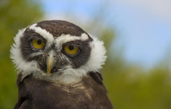 Spectacled owl by HelenaJ