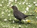 black bird by christinecilia