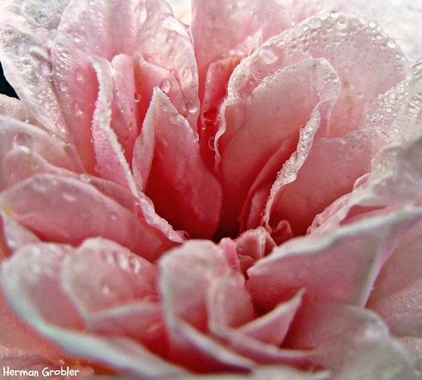 Pink Rose by Hermanus