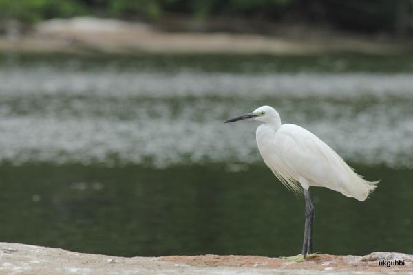 egret by ukgubbi