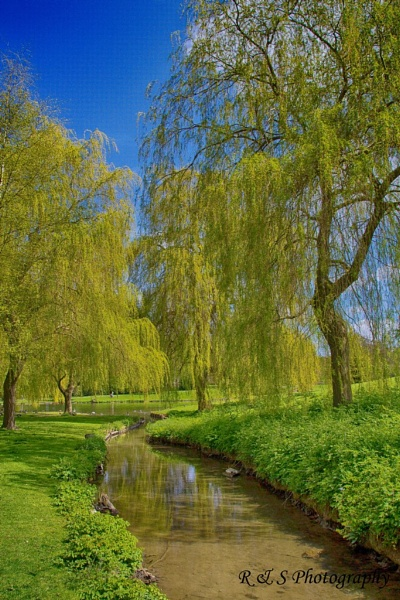 Weeping Willow by Rod20