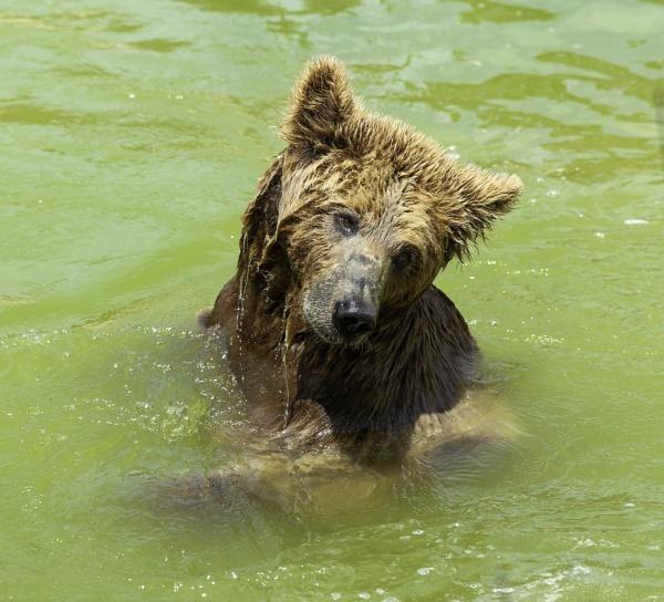 Brown Bear by pdunstan_Greymoon