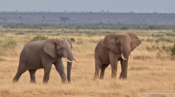 Elephants in Amboseli National Park, Southern Kenya by brian17302