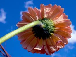 1216-gerber in the sunshine