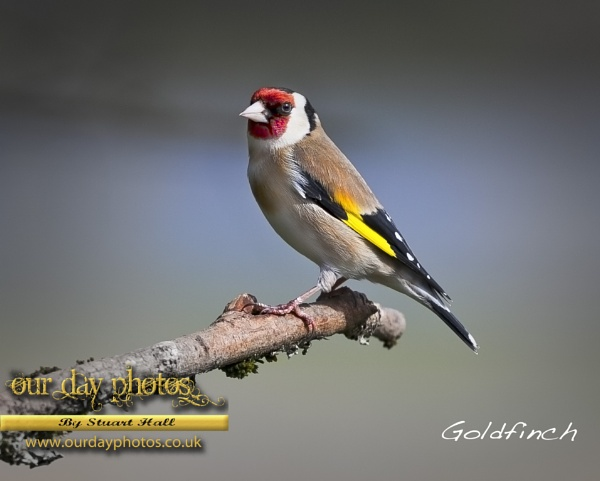 Goldfinch by ourdayphotos