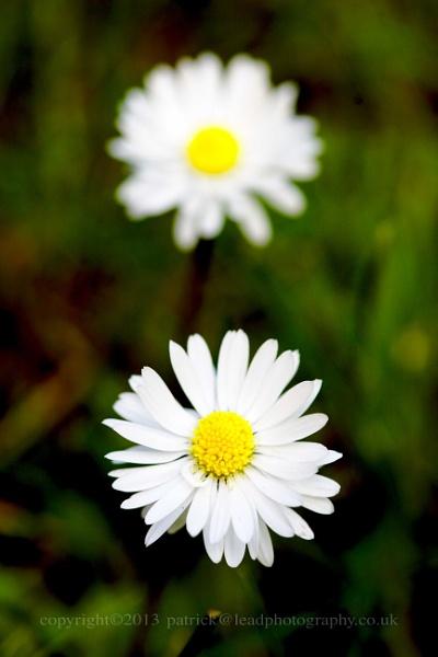 summer daisy by pdjbarber
