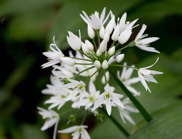 Wild garlic by AlanJ