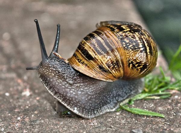 Garden snail by pp1