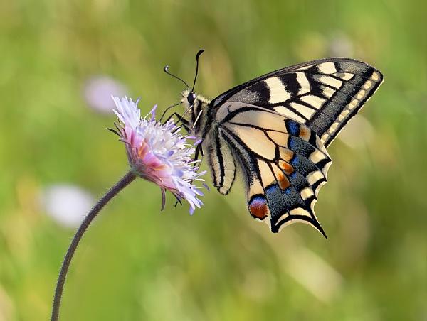 Swallowtail by mattberry