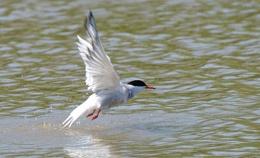 Tern Take Off