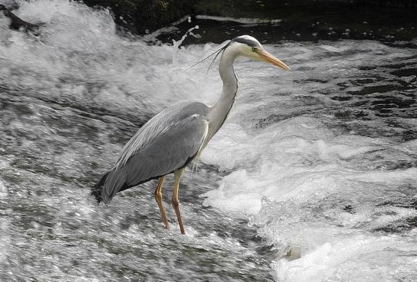 Heron by lenocm