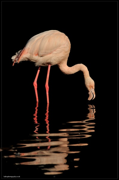Flamingo by boran