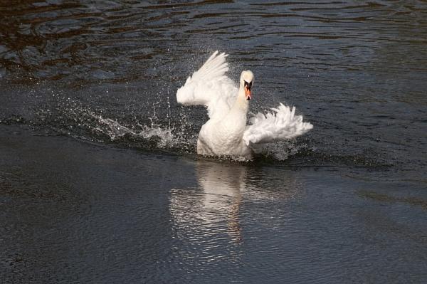 Mute Swan bathing by trevaze
