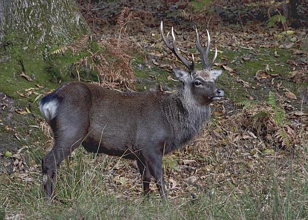 Sika Deer by trevaze