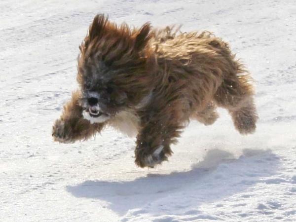 My teddy bear dog by haggisman999