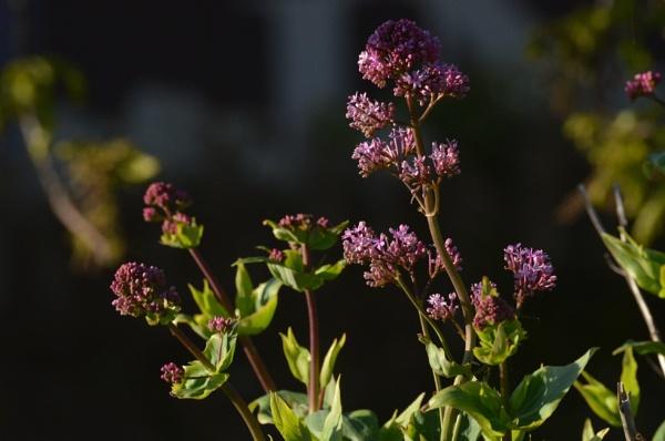 Flowers at sunset by Redziggy