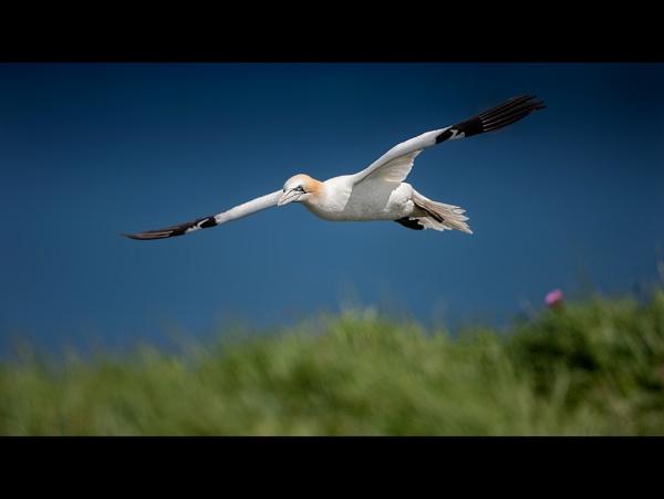 Gannet by John_Wannop
