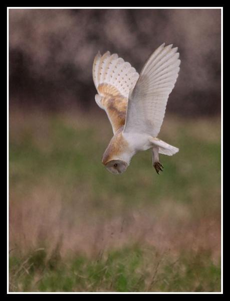 Barn Owl (wild) by davet2