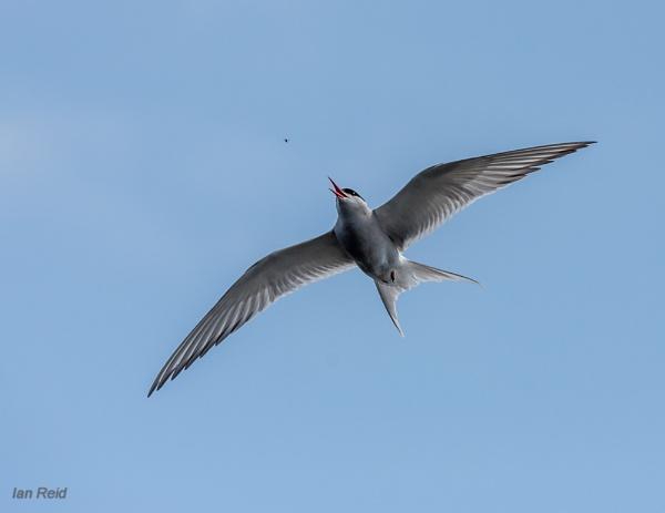 Arctic Tern by ireid7