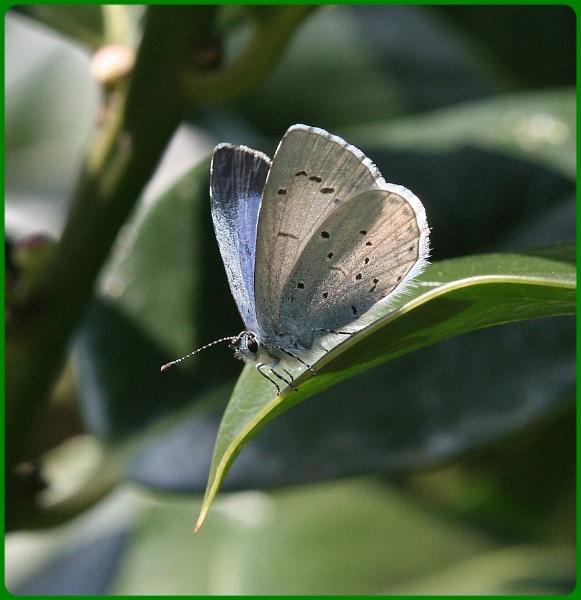 Holly Blue by Glostopcat