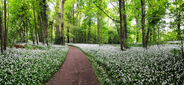 Wild Garlic in the Woodland Walk at Kingston Lacey Dorset by Guzzibear
