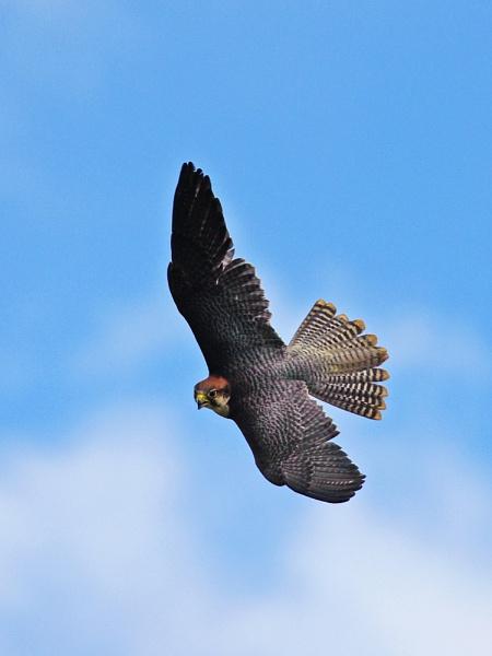 Lanner Falcon by Trev_B