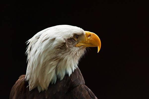 American Bald Eagle Profile by Trev_B