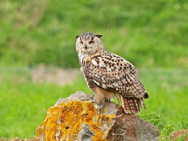 Eagle Owl by Trev_B