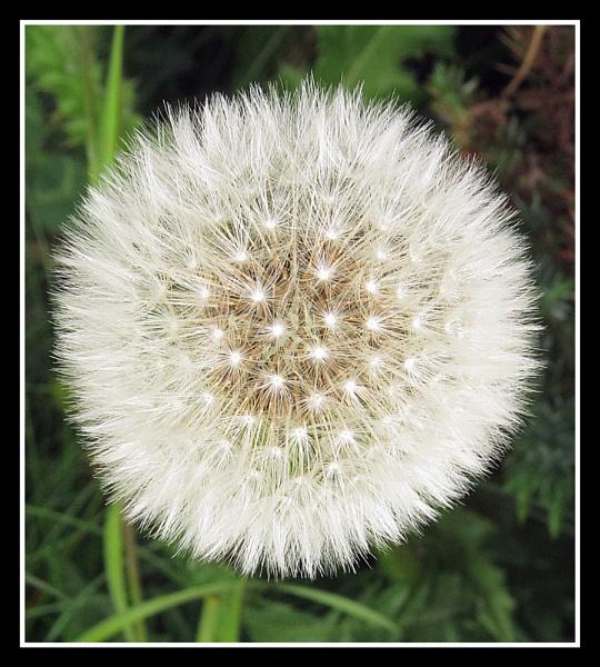 dandelion by HSTONEY222